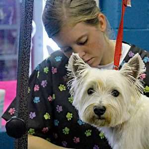 female groomer shaving small dog on grooming table