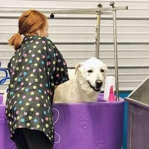 female groomer bathing large dog