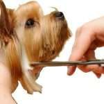 close up of dog head getting hair cut with scissors